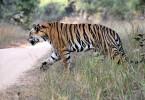 Tigers & Temples TB